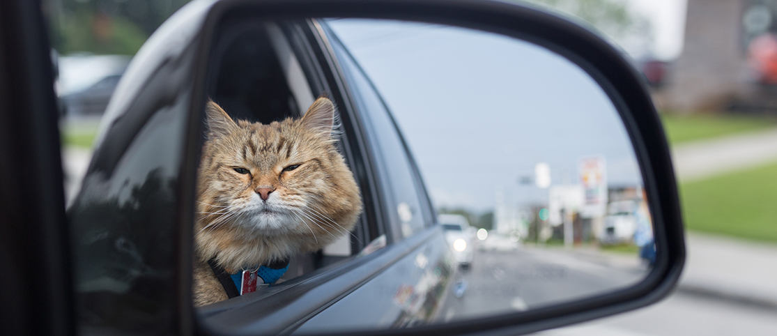 Handy Tips to Follow If You Are Driving with A Cat